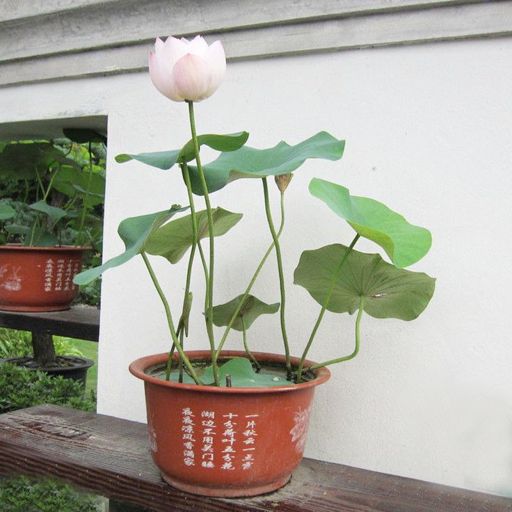 родохитон  цветов