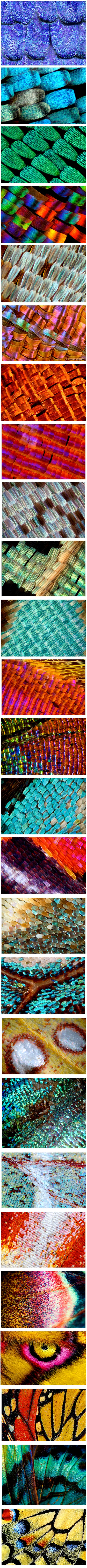 Macro Butterfly Wings (3-20x).