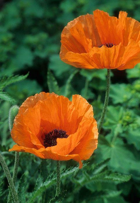 Oriental Poppy - 'Harvest Moon' - L to R #1