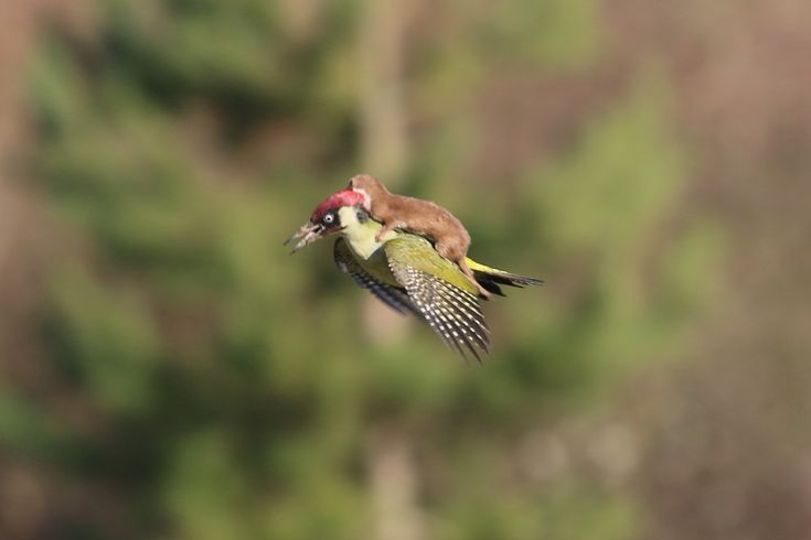 East London resident Martin Le-May captured this incredible photo of a baby weasel on the back of a green woodpecker in Esssex, England, on Monday.