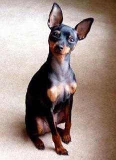 Raças de cães - Pinscher Miniatura ~ Só Cães e Cachorros