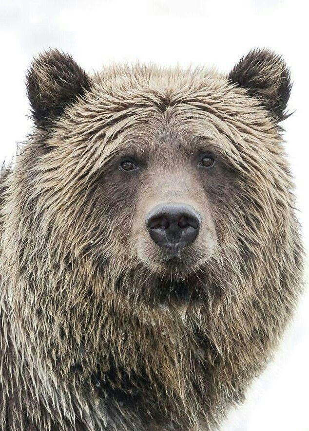 Gorgeous Grizzly Bear!