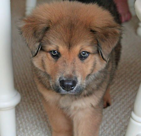 #GSD #Chow #Mix | #GSD mixed with #Chow-Chow | Pinterest ...