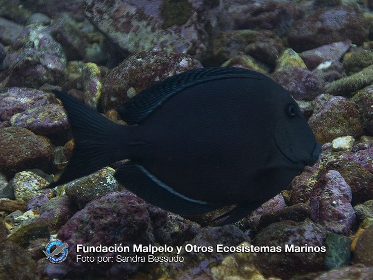 (Ctenochaetus marginatus) Navajón Estriado. SFF Malpelo.