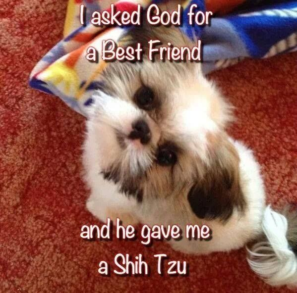 For the Love of a Shih Tzu