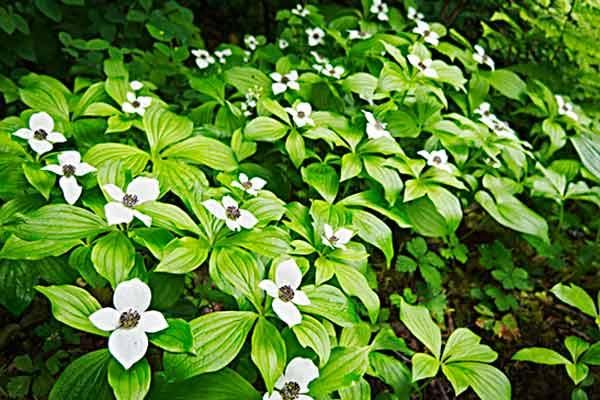 Shade-loving plants like Bunchberry (Cornus canadensis) are successful with less than 4 hours of direct sunlight daily in ?zones 2–7. | Photo: Mark Turner | thisoldhouse.com