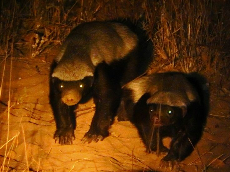 Honeybadgers galore at Nsolo and Luwi - as always