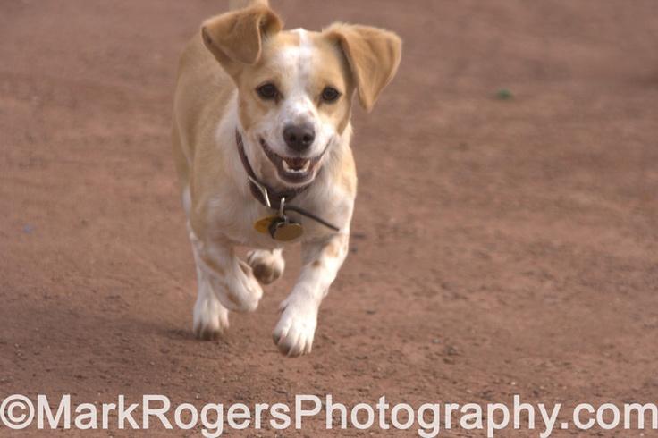 corgi beagle mix | FURRY FRIENDS | Pinterest