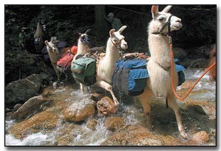 Western North Carolina llama trekking: Donkey Trekking, Carolina Llama, Llama Trekking, Hot Springs, Peruvian Trekking, Alpaca Llama And, English Mountain, Mountain Llama