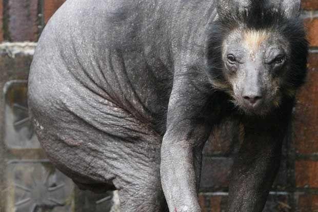 bear shaved