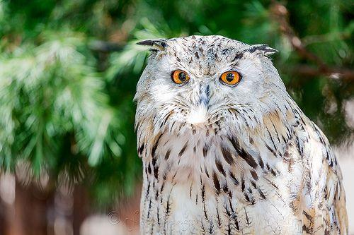 Bubo Bubo Sibiricus / Siberian Eagle Owl