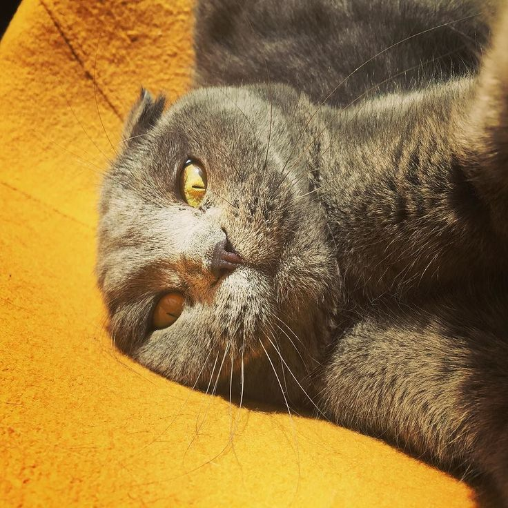 But first let me take a #Selfie #Cat #chat #neko #gato #meow #sunday #sun #greycat #Arthur #scottishfold #scottish #cute #mignon #love #adorable #catsofinstagram by mrs_o_malley