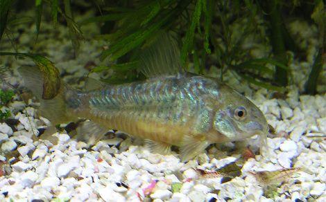 L'aquarium doit faire 80 litres minimum avec une température comprise entre 21 et 26°c, PH de 6.5 à 8.0, GH de 1 à 20°d et vit en groupe de 6 minimum