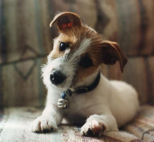 Jack Russells will always have a special place in my <3  They say these things are hyper. I have one, and it's the laziest animal on Earth.