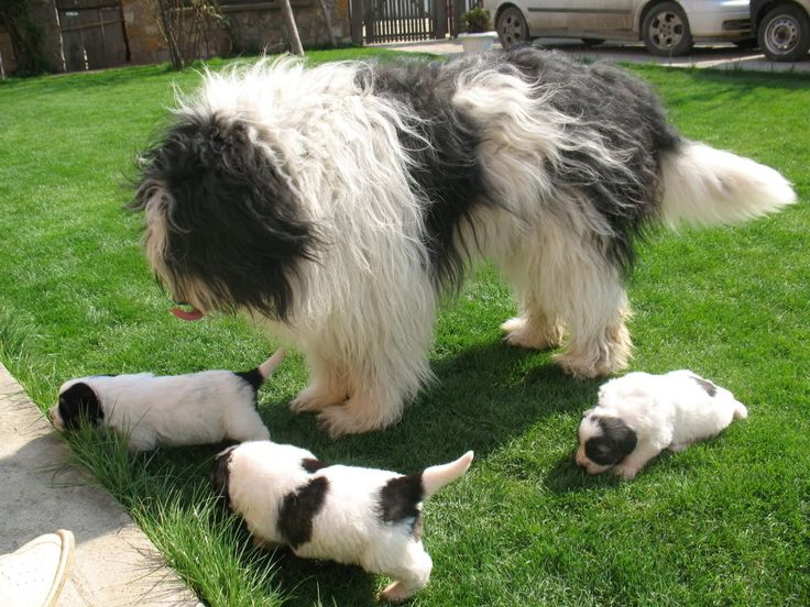 Mioritic dog with her babies photo