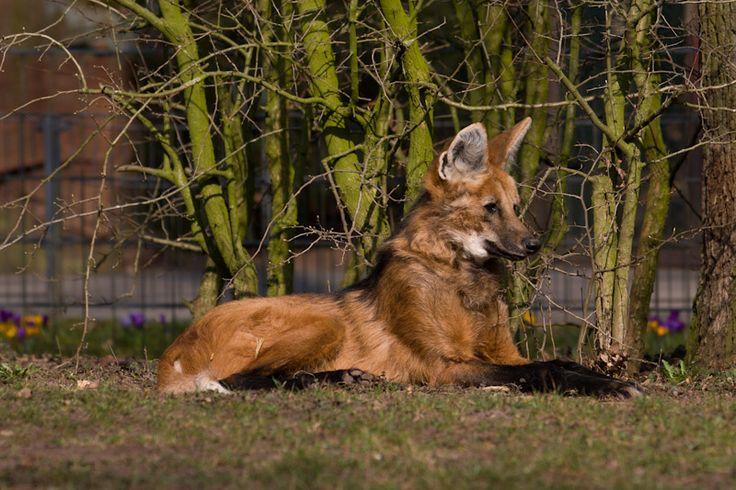 mähnenwolf | Mähnenwolf | Pashieno's Welt