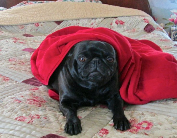 TY Ruby Pugsly the Black Pug Rescue Dog's Dreams Come True - News - Bubblews