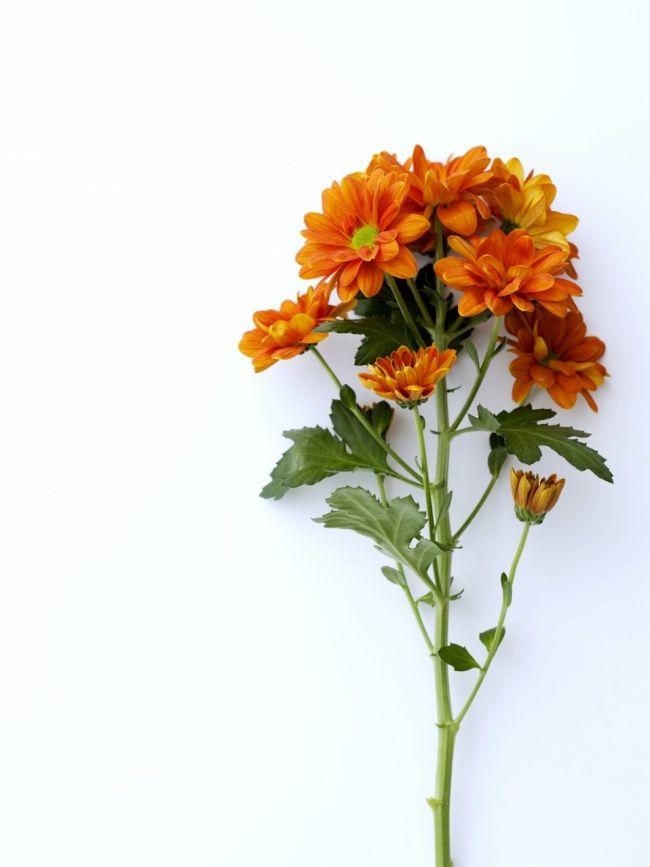 Les chrysanthèmes sont appréciés dans le monde entier. De manière générale, cette fleur symbolise le bonheur, la fidélité, l'honnêteté et l'amitié. Mais sa signification symbolique diffère en fonction des lieux. Passons en revue quelques régions et pays pour découvrir ses diverses facettes :  L'Asie Le chrysanthème est vénéré dans tous les pays asiatiques. Il est le symbole ultime du bonheur et de la bonne santé. (...)
