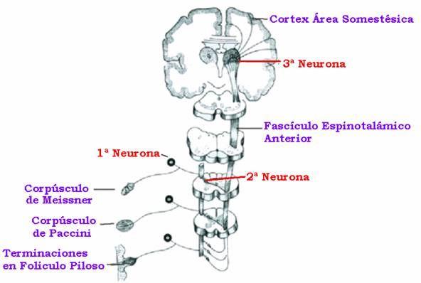 Vía Consciente (2/3) relativa a presión y tacto - sensibilidad protopatica