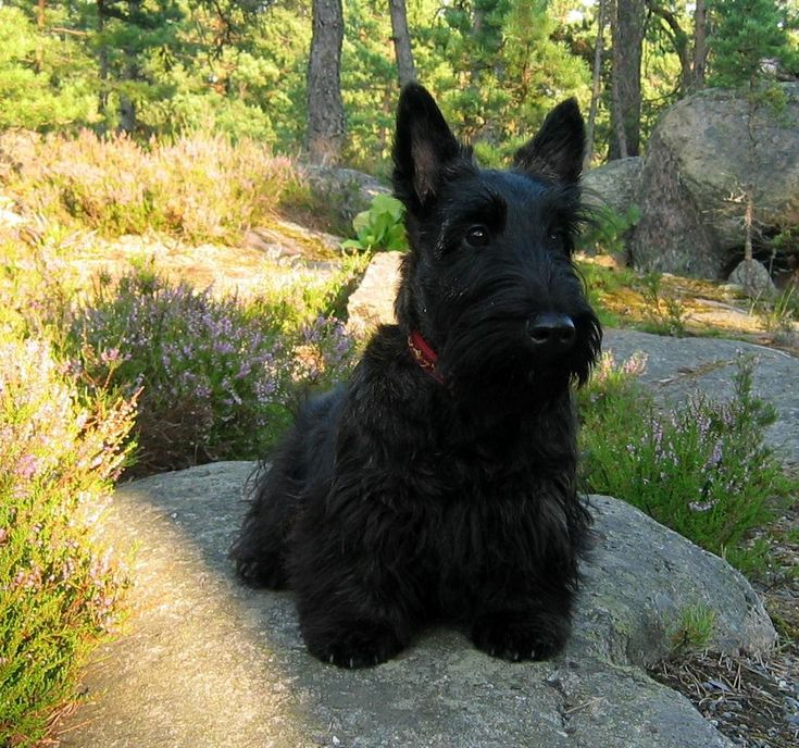 Scottish Terrier. Goodness, I Want One! They Look Like