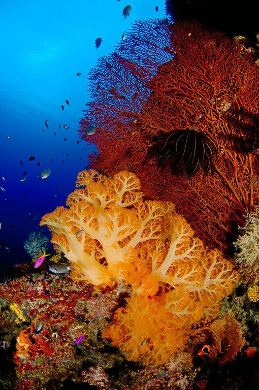 A reef scene with soft corals and sea fans from the Solomon Islands
