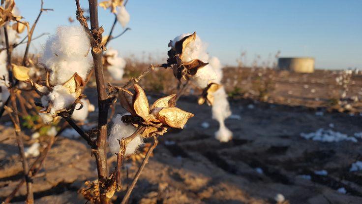 Cotton plants in Queensland