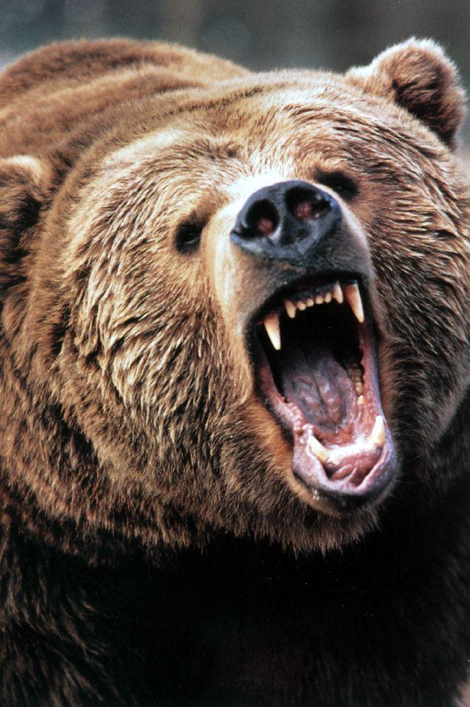 Gli orsi bruni della Russia appartengono alla stessa specie del grizzly americano e possono sfiorare la mezza tonnellata: la loro forza, come la loro ferocia è leggendaria. Ciò nonostante è accertato che fuggano alla sola vista di una tigre.