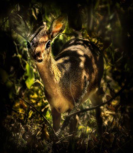 Kirk's Dik dik (Madoqua kirkii). Kenya Photo by Nora de Angelli -- National Geographic Your Shot