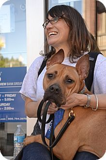 Chicago, IL - Boxer/Pit Bull Terrier Mix. Meet Taz a Dog for Adoption w/ Found Chicago http://adopt@foundchicag... Phone: (773) 539-3880