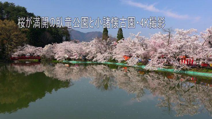 桜が満開の臥竜公園と小諸懐古園・4K撮影