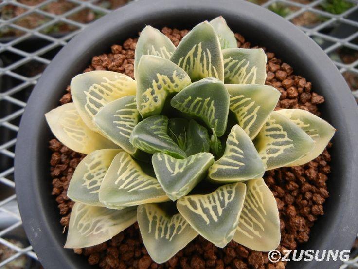 Haworthia comptonia hyb. variegated   por Zusung