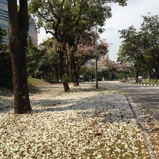 the recent hot & dry weather, followed by rain caused Trumpet flower (Tabebuia rosea) to blossom in Singapore #burufly