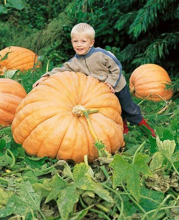 Celebrate National Pumpkin Day With Your Own Super Sized Pumpkin Just Think Of The Celebration Youll Have With This Giant Pumpkin Seeds Pumpkin Veggie Garden