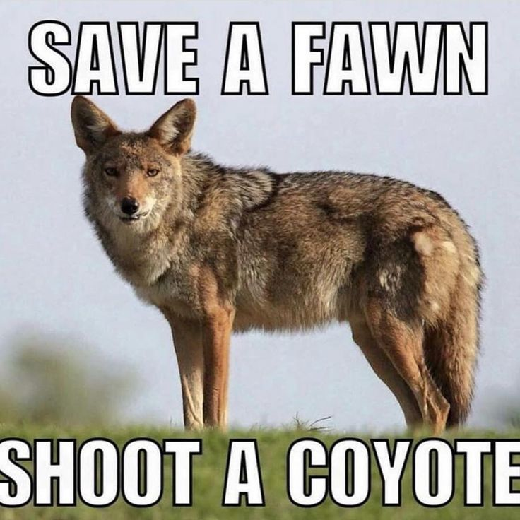 Every hunter needs this rule! #coyote #hunting