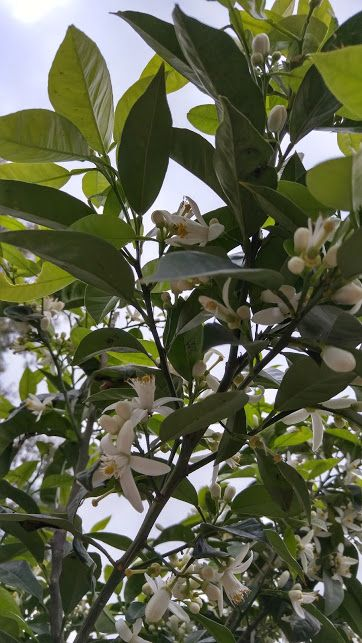 Lemon tree blossoms make the spring breezes fragrant and refreshing. I took this picture while visiting Chios in March 2016.