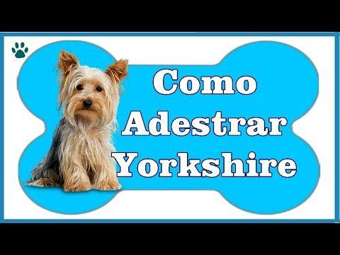 Como Adestrar um Yorkshire? - Aprenda a Como Adestrar Um Cachorro Yorkshire - YouTube