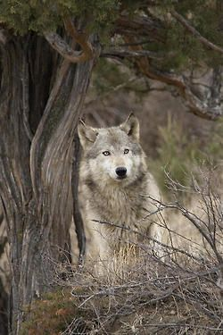 Timber WolfbyCarol Gregory