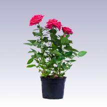 Mini rózsa pink, Rosa 10 cm magas 11cs