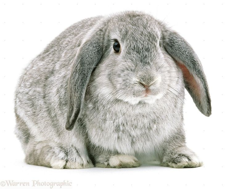 Bunny Trivia 9 Amazing Facts About Pet Rabbits: 17 Best Images About Chinchilla On Pinterest