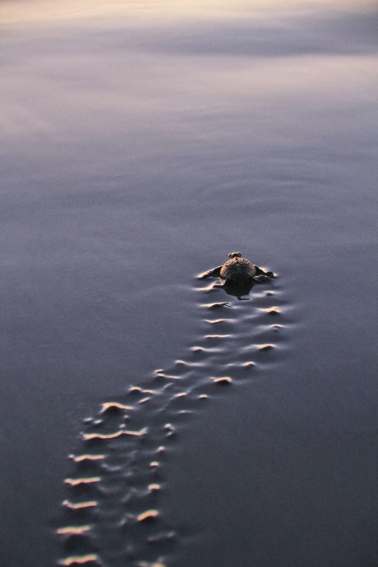 Baby sea turtle begins the adventure of life.