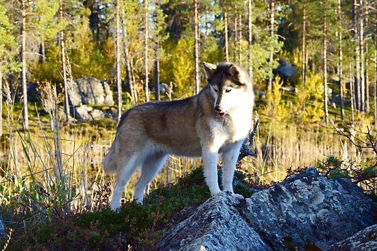 Siberian Husky in der Natur