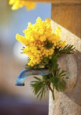 La #mimosa è il simbolo per eccellenza della #festadelladonna