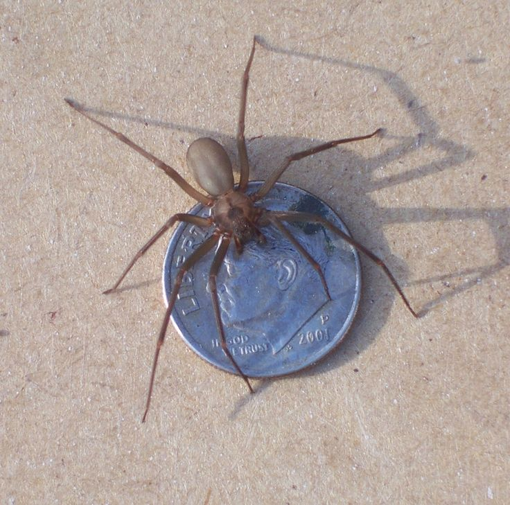 Brown recluse spider female bad spider i had one on for How to keep spiders out of your bedroom