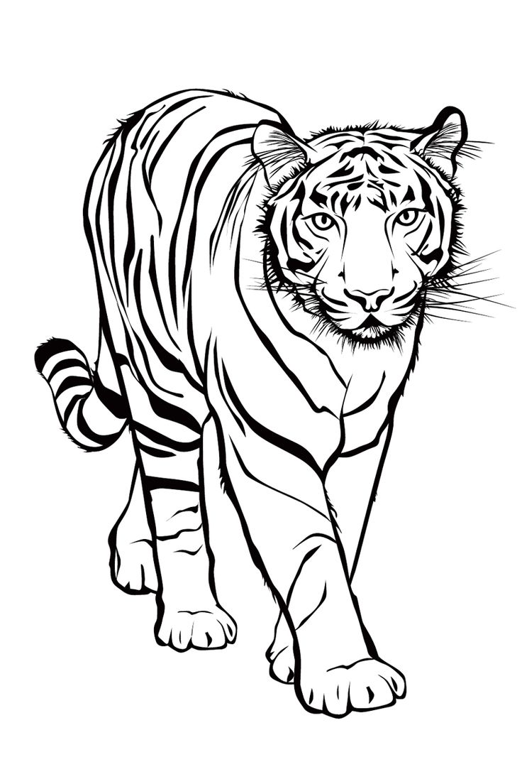 Бенгальский тигр - razukrashki.com