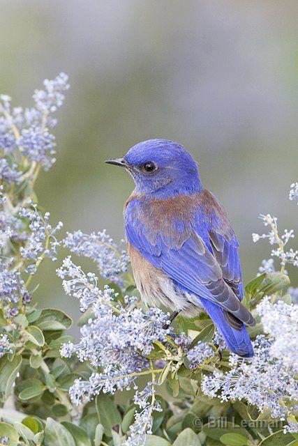 Western Bluebird in California Lilac ~ by Bill Leaman