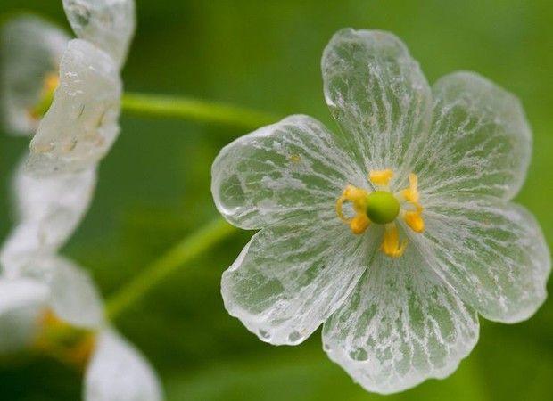 A espécie rara e exótica pode ser encontrada em apenas três lugares do mundo: China, Japão e Apalaches, uma cordilheira da América do Norte  Flor fica transparente em contato com a água.