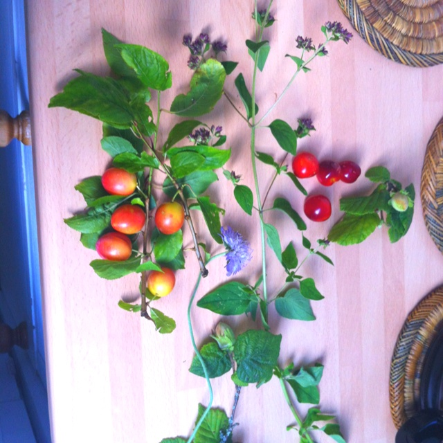 Foraging in Box Hill, found wild Oregano, wild Plums, Hazelnuts and Elderberries (but we ate those!)