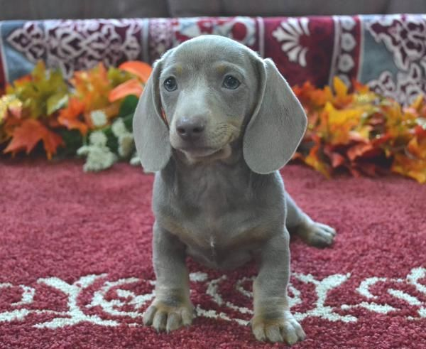 Mini Dachshund Puppies For Sale Black Tan Doxie Breeder Short