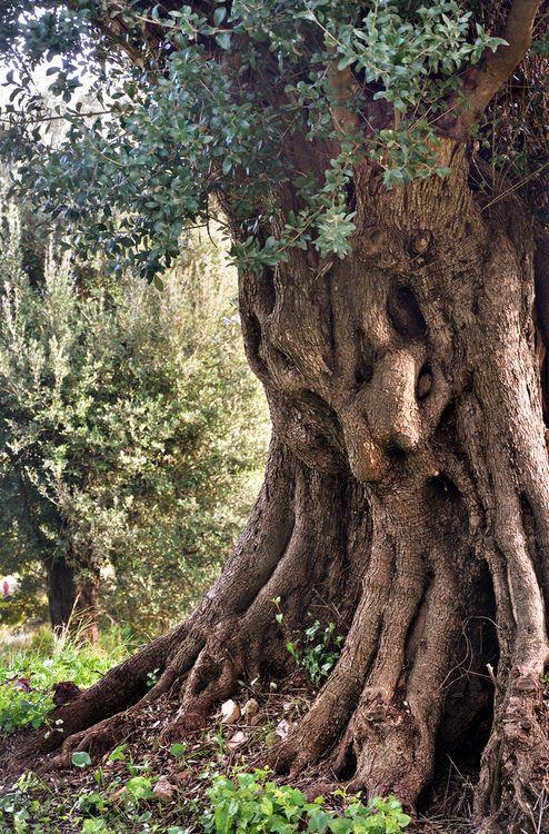 Le vieil olivier, Roquebrune, Provence