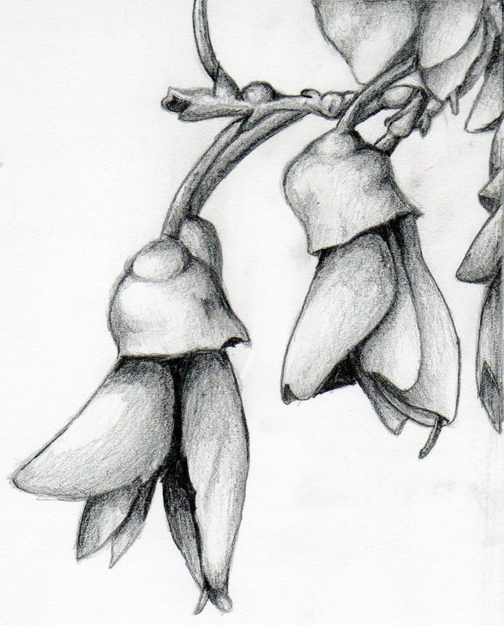 Image result for kowhai drawing
